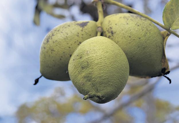 Bien que le noyer noir soit un arbre très résistant aux parasites et aux maladies, le producteur doit contrôler la population d'écureuils qui raffolent de ses fruits. Photos : David Riendeau