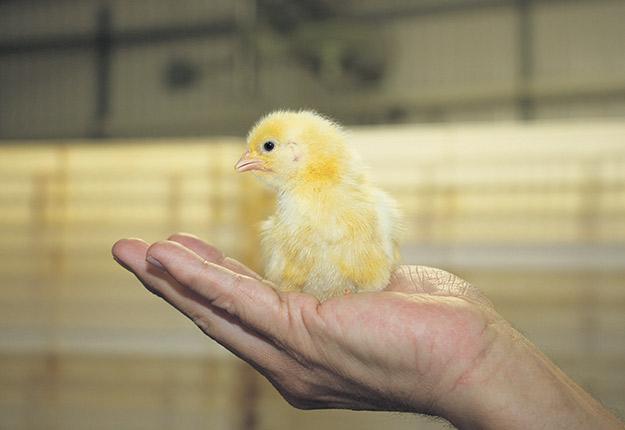 Le Groupe Réal Côté, basé à Ange-Gardien en Montérégie, compte des fermes d'élevage de poulettes d'incubation, des fermes d'œufs d'incubation, un couvoir et des fermes de poulets à griller. Photo : Archives/TCN
