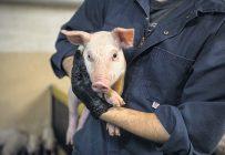 Selon les experts, d'ici quelques années, il sera également possible d'utiliser la reconnaissance faciale pour les porcs. Photo : Archives/TCN