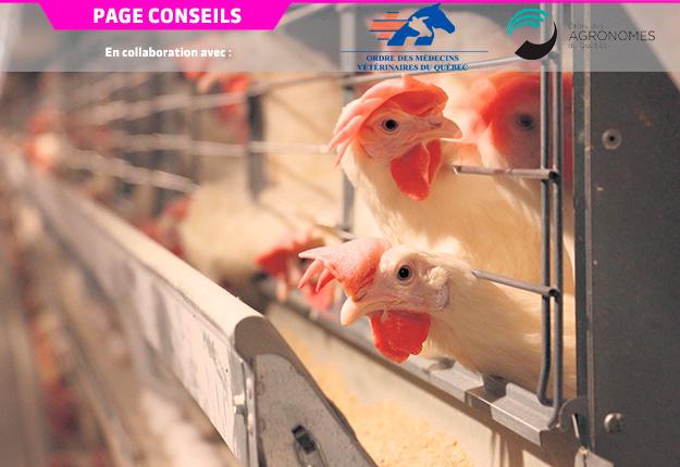 Le syndrome de fausses pondeuses associé à l'IBV est un problème sérieux pour le secteur ovocole québécois, puisque le Québec est le deuxième plus gros producteur d'œufs au Canada après l'Ontario et fournit plus de 20% de la production canadienne. Photo : Archives/TCN