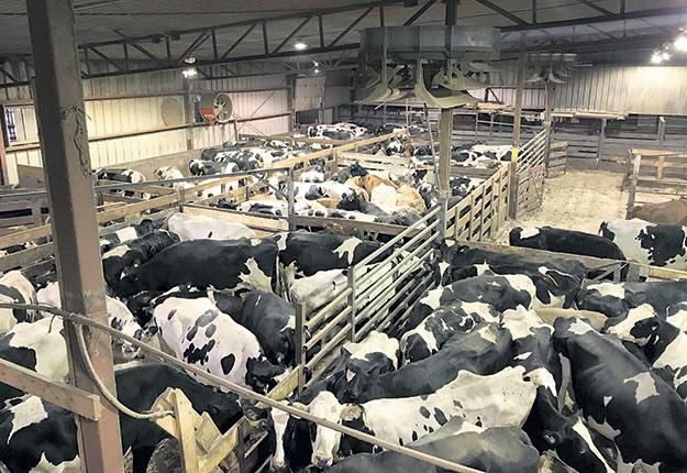 Environ 125 vaches de réforme étaient déjà dans l'enclos, à 11 h, avant que l'encan de Saint-Hyacinthe débute. Photos: Caroline Morneau/TCN