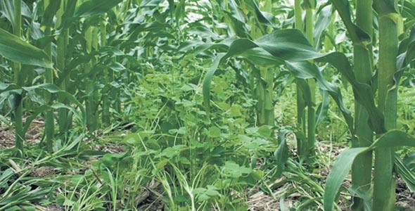 Des cultures intercalaires comme le trèfle incarnat donnent des résultats intéressants dans le maïs.