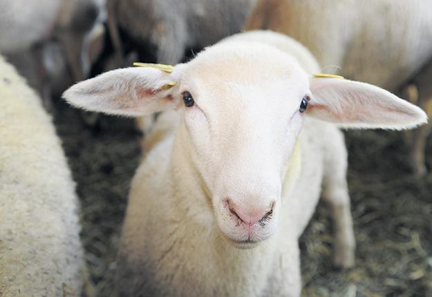 Les abattoirs de l'Ontario sont situés plus près des fermes ovines du Témiscamingue que ceux du Québec. Photo : Archives/TCN