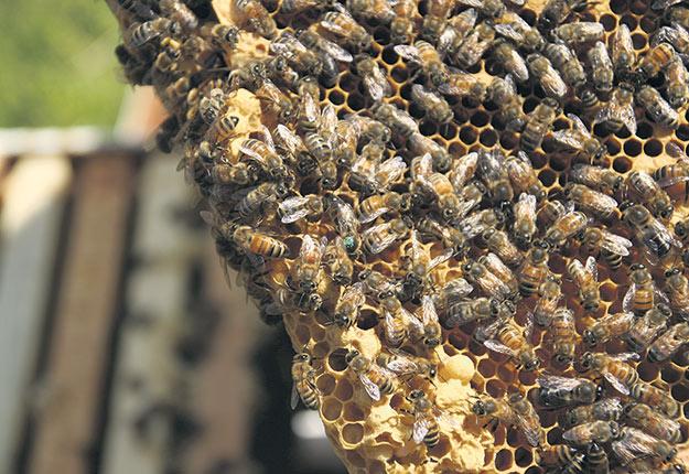 Les apiculteurs aimeraient que les abeilles soient mieux protégées contre les pesticides. Photo : Archives/TCN