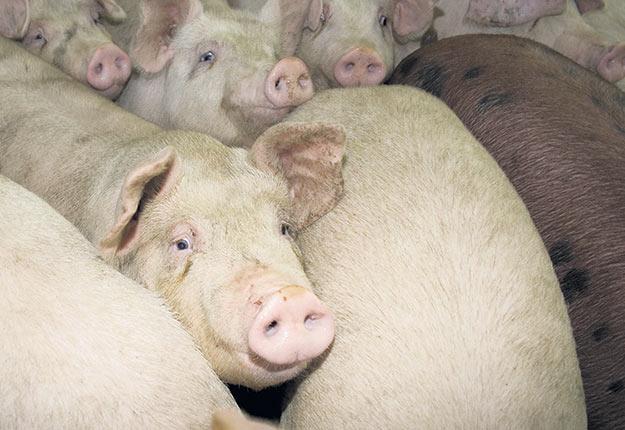 La diminution progressive du nombre et du poids des porcs en attente redonne un peu d'espoir aux éleveurs. Photo : Archives / TCN