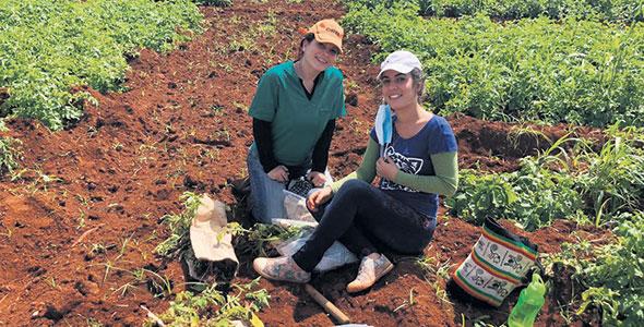 La pomme de terre fait partie intégrante de l'alimentation des Cubains, mais la présence dans lessols de la bactérie Ralstonia solanacearum rend difficile sa production. Photo : Gracieuseté de Edel Perez Lopez
