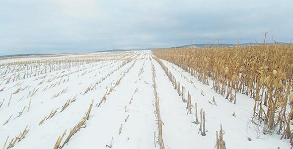 La neige accumulée sur le maïs laissé au champ favorise la recharge de la nappe du puits d'eau potable de la Ferme Vicari.