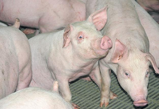 Malgré les bons prix observés sur le marché, les producteurs de porcs ont de la difficulté à tirer leur épingle du jeu. Photo : Archives/TCN