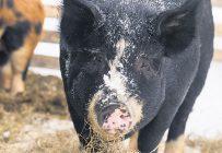 Si la peste porcine africaine est détectée chez des porcs de races rustiques ou chez des sangliers, un protocole sera mis en place pour guider le commerce bilatéral afin d'éviter une propagation dans les élevages commerciaux. Photo : Archives/TCN