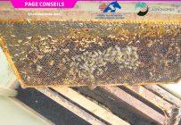 Le petit coléoptère de la ruche se reproduit rapidement et cause des dommages considérables dans les ruches faibles ou malades. Photo : Gracieuseté de Martine Bernier
