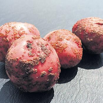 Causée par une bactérie filamenteuse (généralement la Streptomyces scabies) présente naturellement dans la majorité des sols canadiens, la problématique de la gale commune est plus répandue dans l'est du pays en raison, entre autres, de la faible utilisation de l'irrigation.