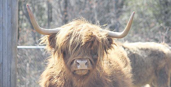 Une des particularités de la ferme, le bœuf Highland.