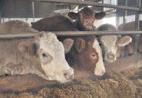 Les faibles prix offerts aux éleveurs de bouvillons pour leurs animaux et les coûts de production en hausse continuent de faire mal à la filière. Photo : Gracieuseté des PBQ