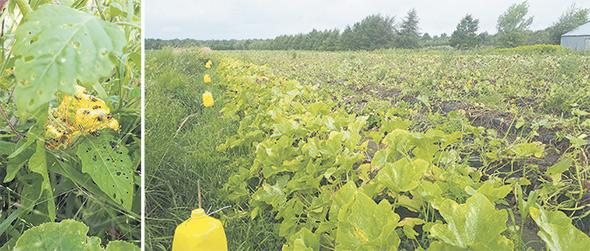 Faute de traitement, la chrysomèle rayée du concombre peut causer jusqu'à 75% de pertes dans les cultures de cucurbitacées. Jusqu'à présent, les pièges les plus efficaces semblent être les bidons dotés de 10trous sur le côté d'un diamètre de 4mm avec l'attractif AgBio.