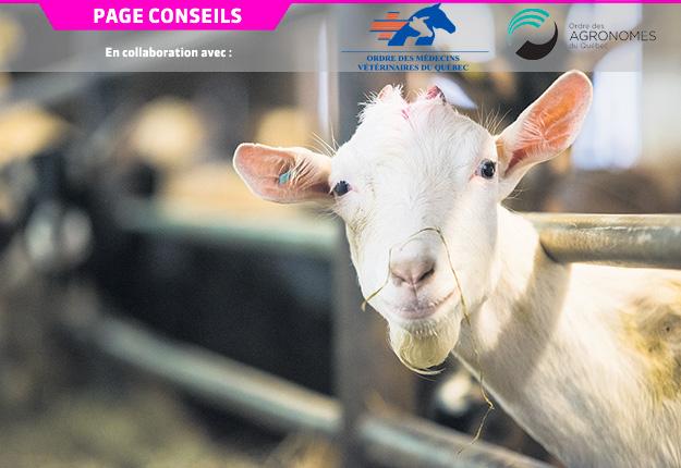 Il est connu que les chèvres laitières sont moins sensibles que les vaches laitières au désordre du métabolisme ruminal occasionné par des rations riches en amidon fermentescible et faibles en fibre efficace. Mais des répercussions négatives peuvent tout de même survenir chez cette espèce. Photo : Martin Ménard/Archives TCN