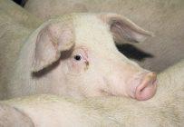 Le nouveau site d'engraissement porcin de près de 4 000 têtes, prévu sur une terre agricole de Maricourt, est conforme aux règlements d'urbanisme de la municipalité et a reçu le certificat d'autorisation du ministère de l'Environnement. Photo : Archives/TCN