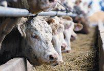 Les éleveurs de veaux d'embouche et de bouvillons d'abattage du Québec certifiés VBP+ peuvent maintenant être éligibles à une prime de Cargill. Photo : Gracieuseté des Producteurs de bovins du Québec