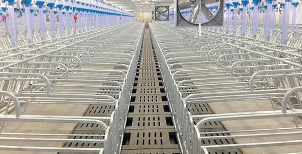 Des ventilateurs de recirculation au-dessus des cages de gestation aident à rafraîchir les truies.