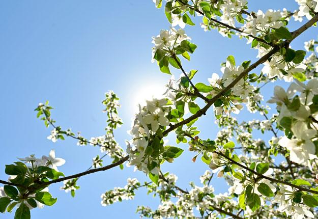 Rougemont, considérée comme la capitale de la pomme, regroupe 500 000 pommiers qui fleurissent plus tôt cette année. Photo : Gracieuseté de Tourisme Rougemont