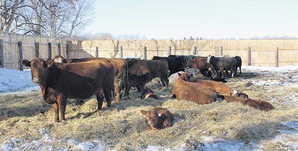 Animaux en enclos d'hivernage. Les vaches etles veaux se reposent sur une épaisse couche de litière placée dans l'aire de couchage. Les animaux sont protégés par un brise-vent fixe qui fait le pourtour de l'enclos. Photo : PBQ