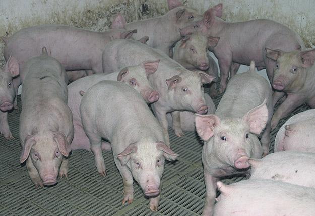 La grève des employés de l'usine d'Olymel de Vallée-Jonction commence à se faire sentir dans les élevages. Photo : Archives / TCN