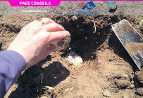 Les pièges-appâts pour le dépistage des vers fil-de-fer consistent en un trou dans le sol dans lequel on dépose un mélange de grains non traités, de farine et de gruau. Photo : Gracieuseté de Brigitte Duval