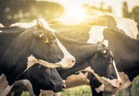 Selon le Dr Frédéric Beaulac, des Services vétérinaires ambulatoires Triple-V à Acton Vale, les premières journées chaudes de fin mai et juin sont moins tolérables pour lesanimaux. Le changement estcomme draconien et ils n'ysont pas habitués. Photo : Shutterstock