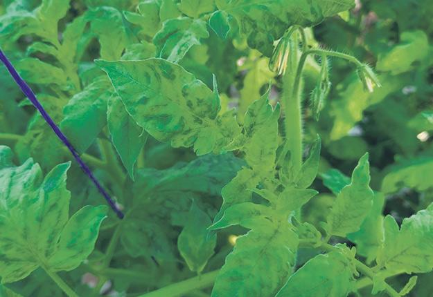 Les feuilles d'un plant de tomates infecté du virus du fruit rugueux brun de la tomate subiront une décoloration. Photo : Gracieuseté de Sébastien Couture