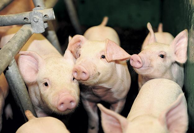 La production porcine est le seul type d'élevage qui nécessite un processus de consultation publique municipal avant la délivrance du permis de construction. Photo : Archives / TCN