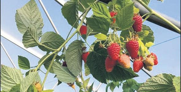 Les prochaines récoltes pourront être améliorées en ajustant les supports des branches et en ajoutant des ventilateurs dans la serre.
