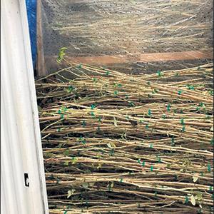 Pendant l'hiver, les tiges de framboisiers sont conservées au frais dans un réfrigérateur à température contrôlée.