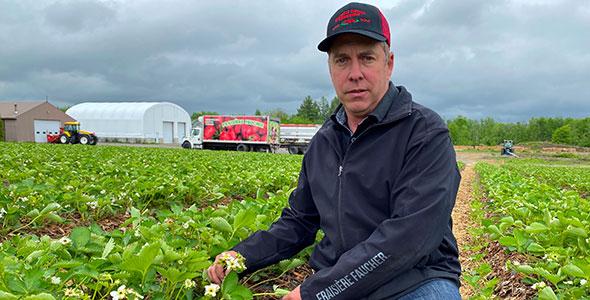Israël Faucher calcule avoir perdu 70 % de ses fraises dont les plants étaient en fleurs, après que celles-ci aient gelé. Photo : Gracieuseté d'Israël Faucher