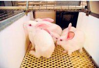 Différentes pistes d'amélioratioACn de leur élevage ont été suggérées aux producteurs de lapins. Photo : Archives / TCN