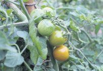 La tomate cerise Orangeto est reconnue pour être particulièrement sucrée et savoureuse. Photos : Pierre Saint-Yves