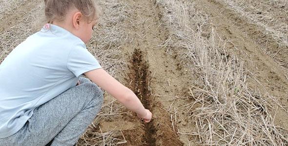 La petite Jennilie effectue le décompte des nombreux plants de soya mort dans le champ de la ferme HP Gagnon et fils. Photo : Gracieuseté de la Ferme HP Gagnon et Fils