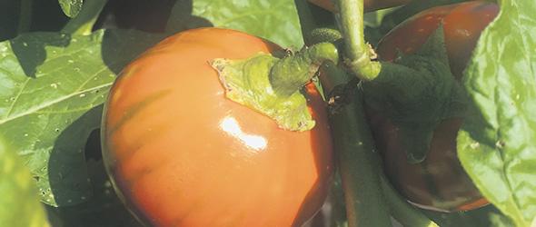 L'aubergine Turkish Orange est ronde, de couleur orange, riche sans être amère.