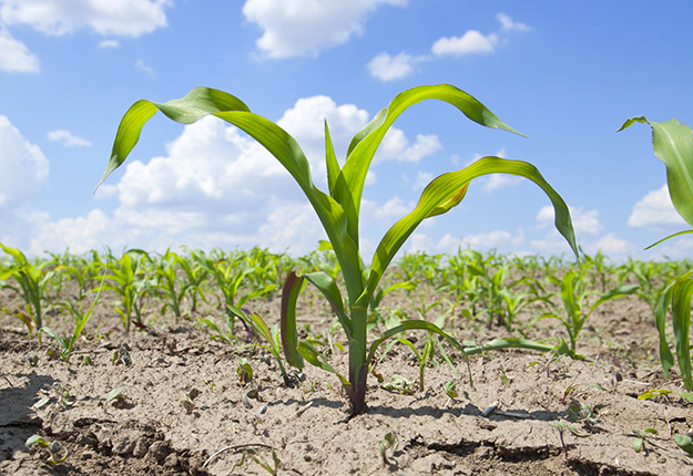Les ravages sur les jeunes plants de maïs, notamment, sont incalculables. Photo : AXTER Agroscience