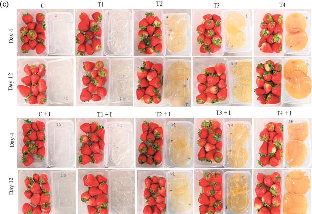 Le carréT1 sur l'image montre le film de chitosane seul, le T2, avec des huiles essentielles, leT3, avec des nanoparticules d'argent et le T4 intègre à la fois les huiles et les nanoparticules d'argent au 4e jour sur la première rangée et au 12e sur la deuxième. Photo : Gracieuseté de l'INRS