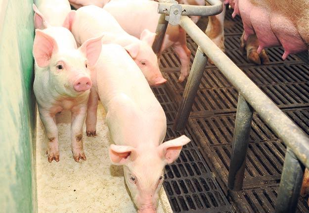 L'âge moyen des bâtiments d'élevage porcin au Québec pourrait freiner les objectifs d'autosuffisance alimentaire pour le secteur. Photo : Archives / TCN
