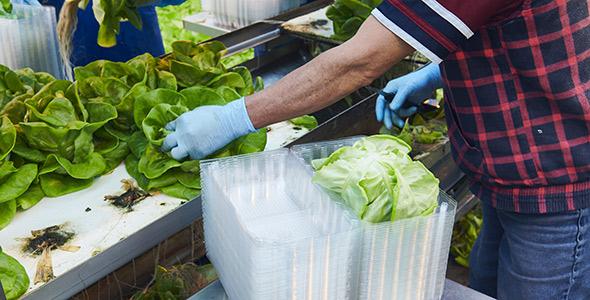 Des laitues cultivées au Québec en serre, pour se régaler en toutes saisons.
