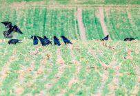 Des producteurs de l'Estrie dénombrent une plus grande quantité de corneilles dans leurs champs cette année. Photo : Shutterstock