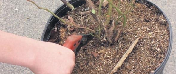 La taille printanière, moins sévère que la culture au champ, est un autre avantage de la culture hors-sol.