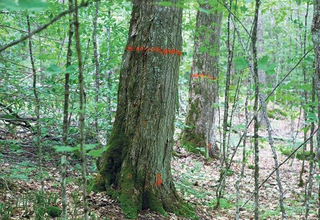 À l'endroit visité, la plupart des arbres de bonne taille avaient été marqués de peinture orange. Photo : Gracieuseté des PPAQ