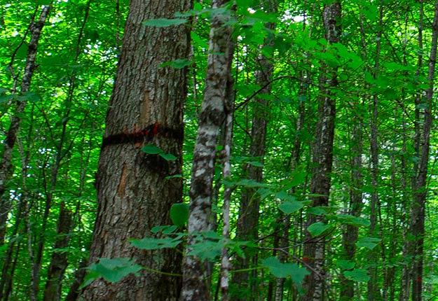 Le marquage de certains arbres, dont celui-ci, a été refait, mais le ministère des Forêts affirme que cette modification « n'a pas de lien avec les représentations des Producteurs et productrices acéricoles du Québec ». Photo : Gracieuseté des PPAQ