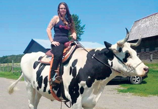 Kelly Landry a appris le pas et le trot à son bœuf. Photos: Gracieuseté de Kelly Landry.