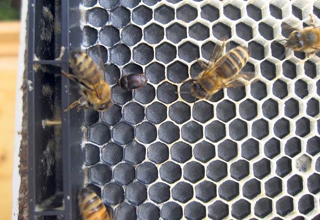 Un petit coléoptère de la ruche parmi des abeilles. Photos : Gracieuseté de Martine Bernier