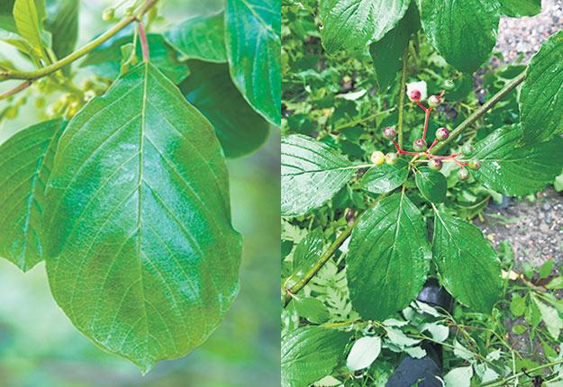 La feuille du nerprun bourdaine (à gauche) ressemble à s'y méprendre à la feuille du cornouiller. Photos : Lise Beauséjour et Sylvio Morin.