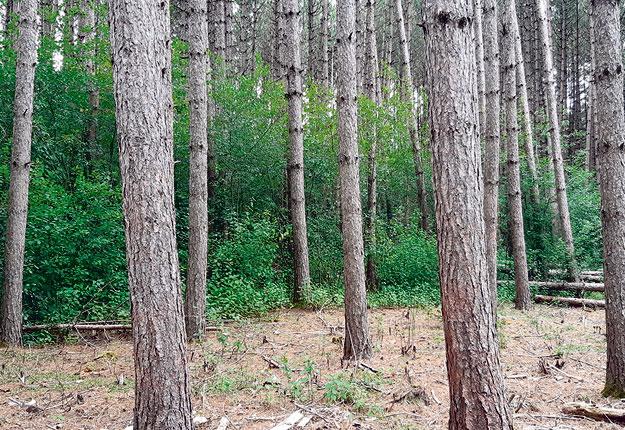 Cette photo montre à l'arrière une forêt envahie par le nerprun, ce qui en diminue la valeur. La différence est flagrante avec la portion à l'avant, où ces arbustes ont été coupés. Photo : Gracieuseté de l'Agence de mise en valeur de la forêt privée de l'Estrie