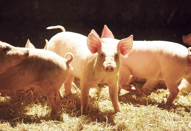 La demande pour le porc biologique est en progression constante ici et ailleurs dans le monde, selon le transformateur duBreton, de Rivière-du-Loup. Martin Ménard/Archives TCN