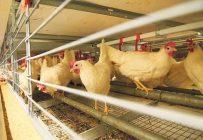 Le stress thermique sur les poules pondeuses peut se traduire par une diminution de la production d'œufs. Archives / TCN